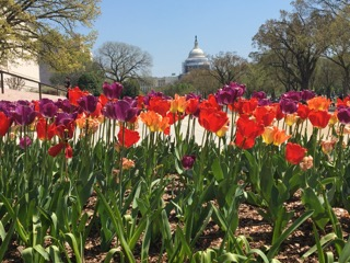 tulips and capitol